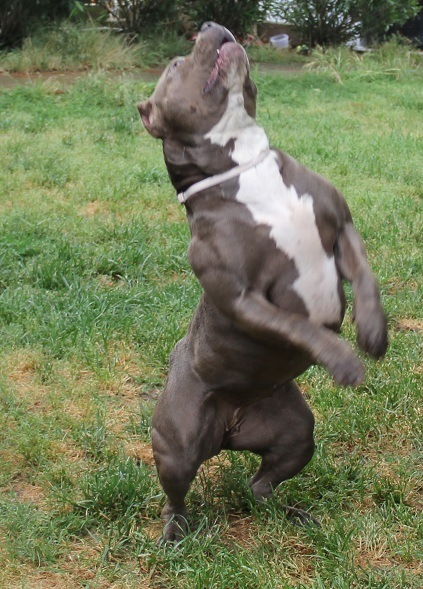 Muscular Pitbull | www.imgkid.com - The Image Kid Has It!