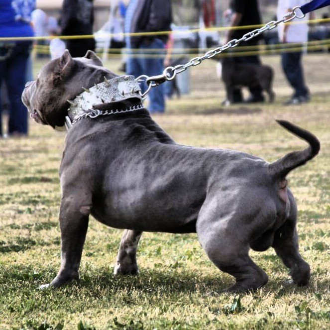 How to become a Successful American Bully breeder (Part 2)