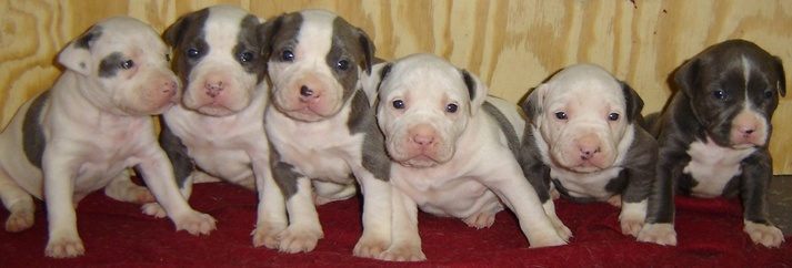 american pitbull puppies