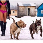 wallpapers-pitbulls