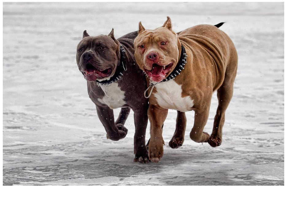 dog socialization chain game or cage rage by bully the kid