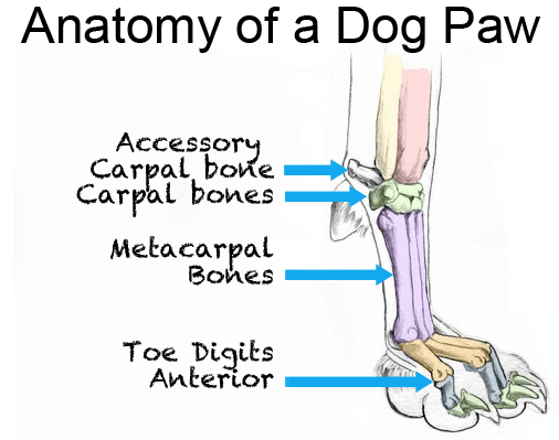 dog is limping dog leg hurt causes and solutions