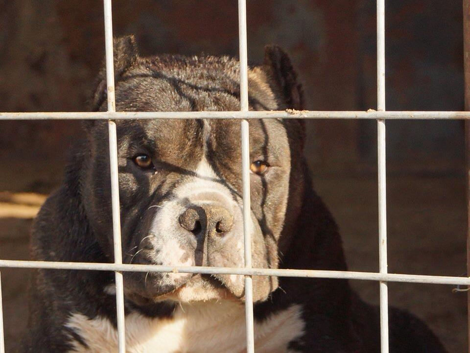 The Pit bull overpopulation problem and solution