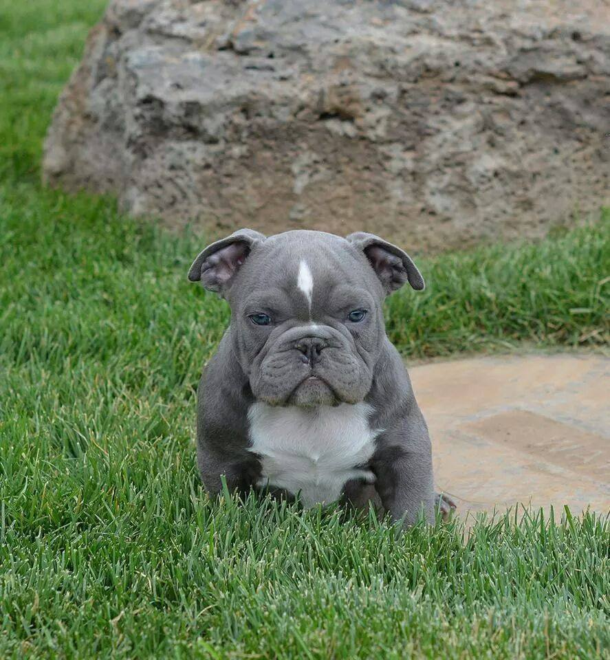 Found a Blue Pitbull For Sale on Google? Read this first