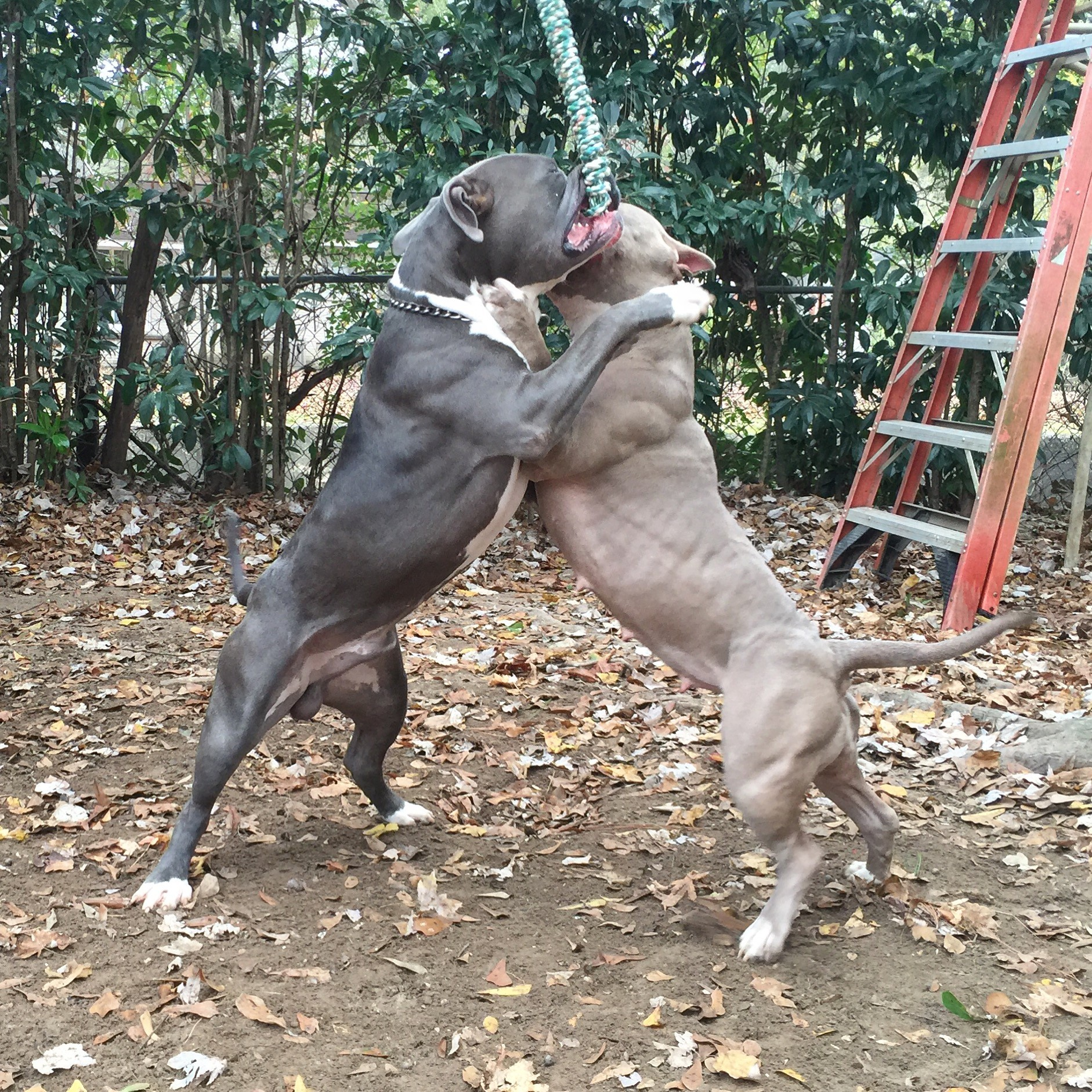 pit bulls working on the spring pole