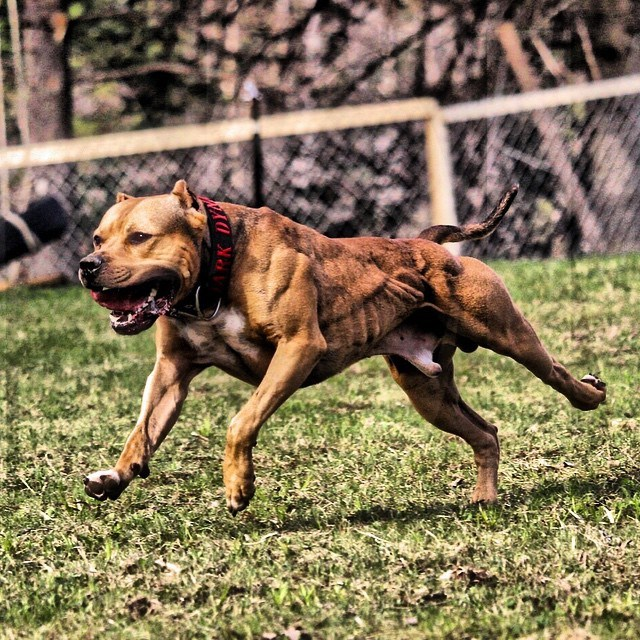 Ace from the World Famous DarkDynastyK9s - Proudly sponsored by Bully Max
