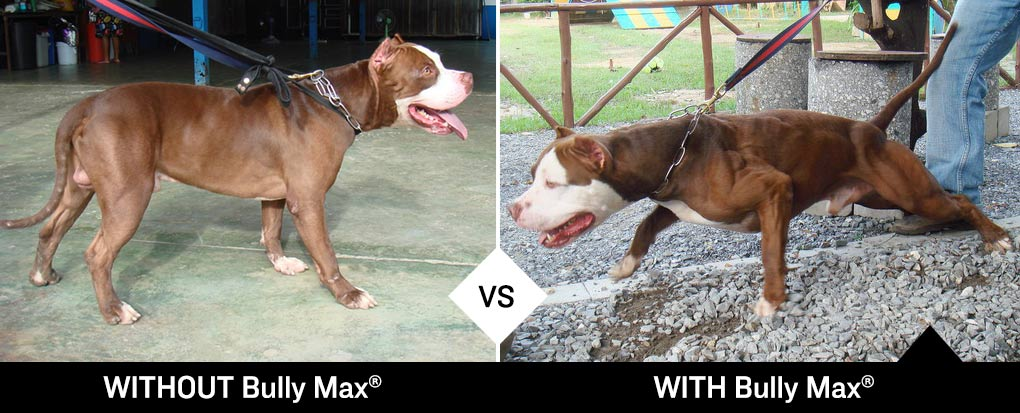 Bully Max Before and After Photos